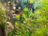 Guppy and platy tropical &community fish