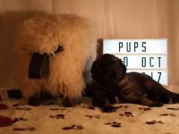 Leonberger puppies. KC registered
