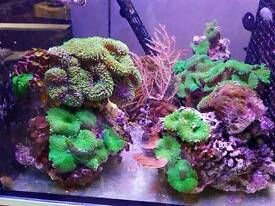 Corals for marine aquarium