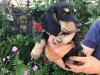 dachshund miniature puppies
