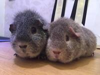 2 female Rex guinea pigs for sale
