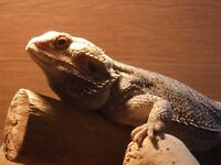 PRICE DROP !!! Male Bearded dragon + viv and full set up