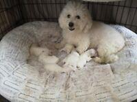 Gorgeous pure Bichon Frise puppies (3 boys left)
