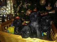 Frugs puppies for sale