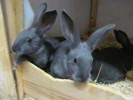 Self show quality young english rabbits