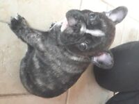 For sale: Adorable Brindle French Bulldog Puppies from FBCE/KC Health Tested Parents.