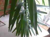 Yucca houseplant. 5 - 6 ft tall.