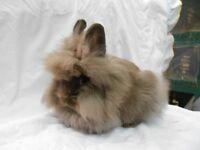 chocolate lionhead house rabbit