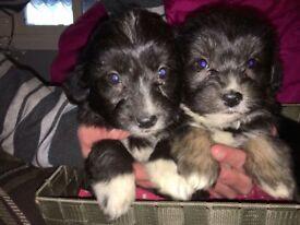 stunninglitter of border collie x miniature poodle