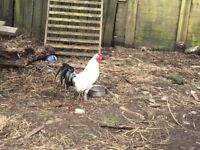 Roosters for sale various types available
