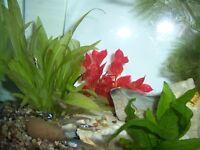 10 Guppy FRY / Guppies Fish for Tropical Aquarium £5