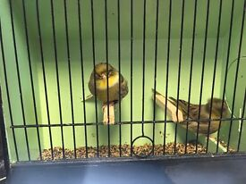 Gloster canaries for sale £35.00 per pair