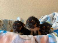 Border terrier cross Jack Russell