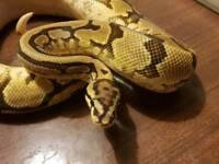 Adult male phantom spider yellowbelly royal python/ snake