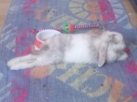 4month old mini lop