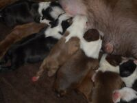 kc reg boston terrier pups for sale