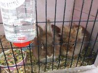 Lion head rabbits born 30.12.16
