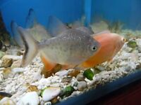 RED BELLY PACU TROPICAL FISH
