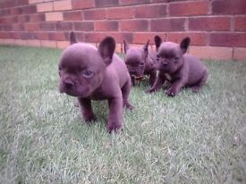 blue french bull dog puppies for sale