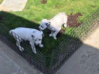 Dalmatian pups for sale