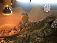 two bearded dragons 4ft set up