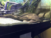 Suckermouth catfish (pleco) for sale