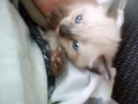 White and grey ragdoll kitten
