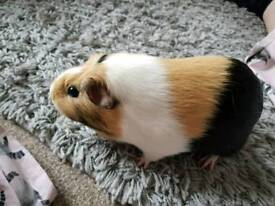 12 month old female guinea pig