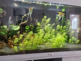 Discus angelfish and rams