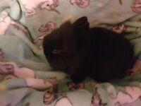 Baby lion hair rabbits