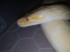 Cb16 burmese python