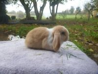 Mini lop buck FOR SALE lovely friendly bunnies