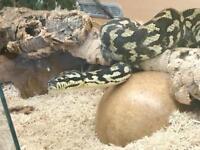 Carpet Jungle Python