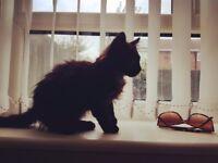 Kitten,dark chocolate colour,fluffy