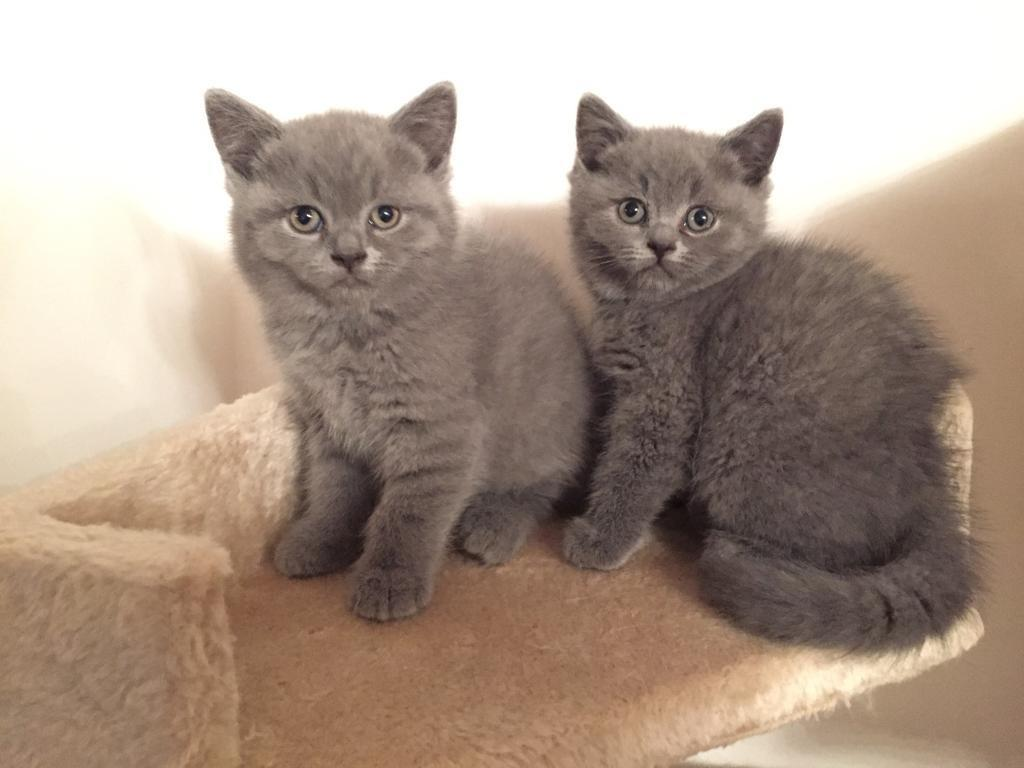 SUPER CUTE AND FLUFFFY Blue Grey PURE British Shorthair Kittens