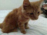 Ginger male X bengal kitten