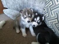 Husky Pups ready 02/06/2020