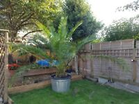 Very Large Phoenix Canariensis Palm Tree in 230 Litre Pot
