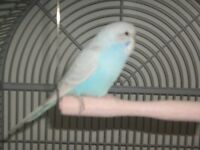 Lovely Baby Budgie