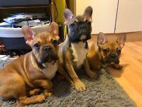 3 Beautiful French Bulldog Puppies Boys