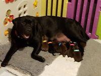 labrador puppies gorgeous