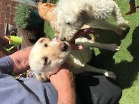Labradoodle puppies £2200