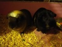 Two lovely guinea pigs for new friendly family, £10 includes cage. No delivery.