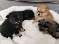Stunning Fluffy Pomeranian merle puppies ready in 2 weeks