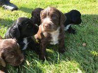 Sprocker x Cocker Spaniel Puppies