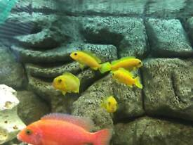 Malawi cichlids and African peacocks