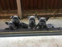 French bulldog puppies pups kc registered