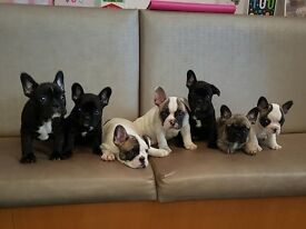 🌈French bulldog triple carrier puppies for sale🌈
