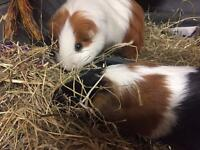 Two female Guinea pigs, with many goodies!