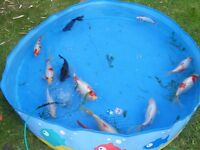 Pond goldfish for sale